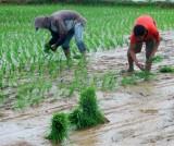 Razendsnel rijstplantjes uitzetten