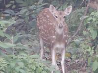 19 Spotted deer