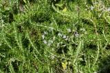 De rozemarijn vormt hier hele hagen
