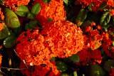 Puzzeltje voor José, heester bij het hotel, ca 90 cm hoog en vol met dit soort bloemen