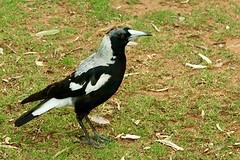 Australian magpie, oftewel zwartrugfluitvogel