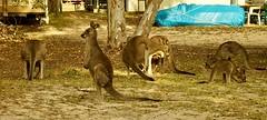 De familie kangoeroe