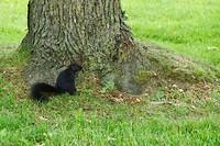 De eekhoorns zijn hier heel donkerbruin (er zijn ook grijze)