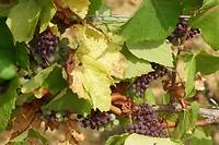 Het nieuws meldde al dat 1/3e van de druiven 'geroosterd' was dit jaar door hitte en droogte