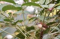 Roodrugwinterkoning (Campylorhynchus capistratus) Rufous naped wren 2