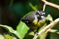 Nee geen mees, maar een kleine kiskadie (Pitangus lictor)