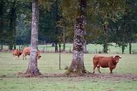De gehoornde koeien zagen er vervaarlijk uit