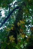 Bemoste boom met herfstblad van esdoorn