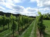De eerste wijnranken