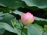 Waterlelies achtige plant
