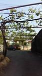 Druivenranken over de weg