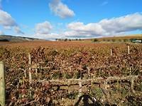 Geplukte wijngaard....de eerste!