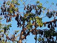 Honderden vleermuizen hangen in de bomen.