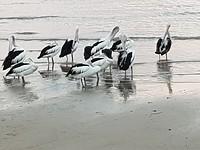 Pelikanen op het strand van Cairns