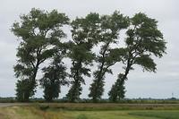 Vijf bomen, als je de stammen telt. Vier bomen als je uitgaat van de kruinen. Gaasterland.