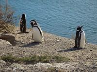 magdalane pinguin