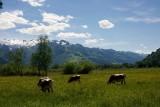 Koeien (geen Milka koe :-))