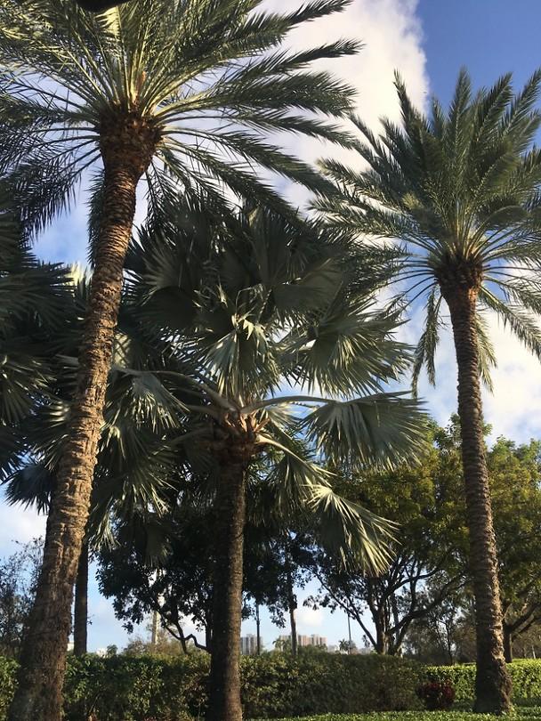 Een aantal palmbomen bij werk