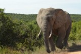 grote mannelijke olifant komt even langsrennen