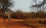 zebra op het pad