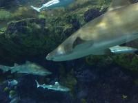 Sandtiger shark met heel gemene tanden