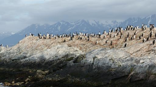 vogelkolonie in Beagle Channel