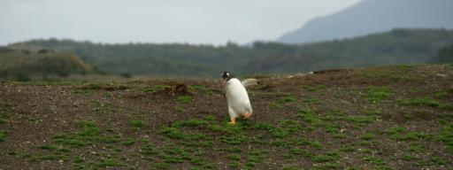 haastige pinguin in Beagle Channel