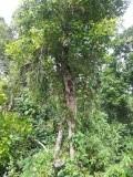 Kruidnagelboom (pohon tjenkeh)