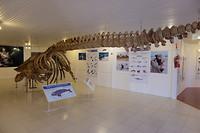 Het skelet van een zee-olifant