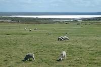 Argentijnse schapen