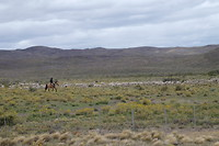 Gaucho's met een schapenkudde
