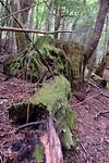 Omgevallen, begroeide boom in het regenwoud