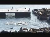 Zeeleeuwen lekker aan het spelen in het water