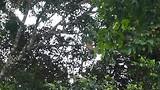 Grote aap slingert in boom