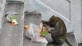 De apen hebben een zak met Mc Donalds eten te pakken gekregen.