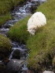 Sheep are everywhere