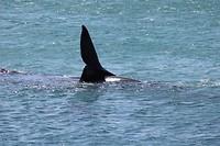 Walvissen spotten in De Kelders