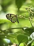 Transparante vlinder