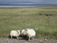 Wildlife op de Kjölor hoogland route😂