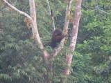 Orang Oetang in het wild