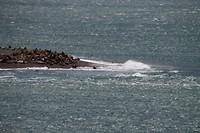 Zeeleeuwen op de kust