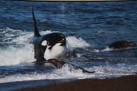 Hap orca hapje