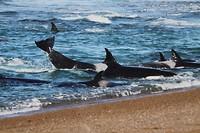 Orca's (niet zelf geschoten)