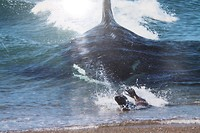 Orca naar het strand zeehond op de vlucht (archief)