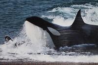 Orca beach (archief)