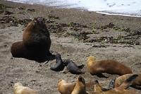 Familie zeeleeuw
