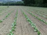 zijn dit nu de tabaksplanten?