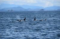 een groep orca's