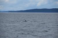 walvis gaat duiken