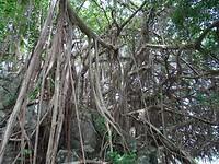 Vijgenboom met beginnend gordijn